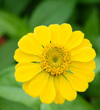Yellow Zinnia flower. In gardens Royalty Free Stock Photo