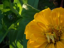 Yellow zinnia flower closed bud and leaves Stock Photo