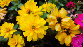 Yellow Zinnia Flowers. Beautiful yellow Zinnia garden in KMITL, Bangkok Stock Image