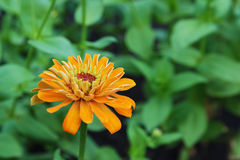 Yellow zinnia flowers Stock Images