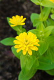 Yellow Zinnia Flowers. Stock Photography