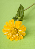 Yellow zinnia on green Royalty Free Stock Images
