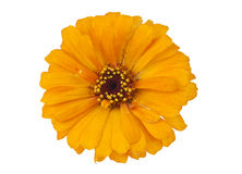Yellow Zinnia isolated Stock Photo