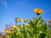 Yellow zinnia in outdoor park Stock Image