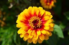 Yellow Zinnia stock photo