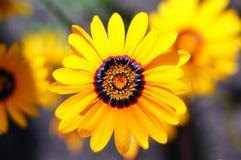 Yellow zinnia. Zinnia - wonderful vivid summer flower head close-up Stock Photography