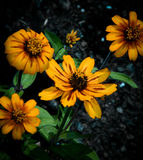 Yellow Zinnias Royalty Free Stock Images