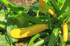 Yellow zucchini. Courgette plant (Cucurbite pepo) with yellow fruits in the garden bed - complete botanical name: Cucurbita pepo subsp. pepo convar. giromontiina Stock Photos