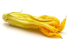 Yellow zucchini flower Royalty Free Stock Images