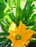 Yellow zucchini flower. Growing on  green vegetable bush in garden closeup Royalty Free Stock Photography