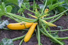 Yellow zucchini growing in garden Royalty Free Stock Photography
