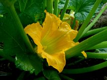 Yellow Zucchini Squash Bud. The yellow bud is a way of announcing that soon we will be enjoying Zucchini squash royalty free stock images