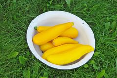Yellow Zucchinies in the bowl Royalty Free Stock Photo