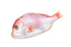 Yellowback海鲷 图库摄影