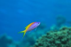 Yellowback anthias Royalty Free Stock Photography