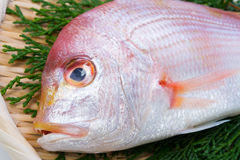 Yellowback seabream Stock Images