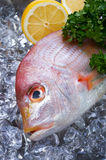 Yellowback seabream Royalty Free Stock Images