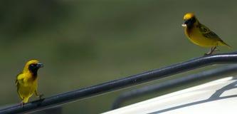 Yellowbacked tkacz Zdjęcia Royalty Free