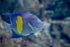 Yellowband神仙鱼或Pomacanthus maculosus 库存照片
