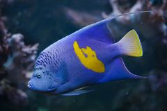Yellowband angelfish Pomacanthus maculosus. Also known as the halfmoon angelfish stock photo