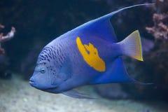 Yellowband angelfish (Pomacanthus maculosus). Yellowband angelfish (Pomacanthus maculosus), also known as the halfmoon angelfish. Wild life animal stock photos