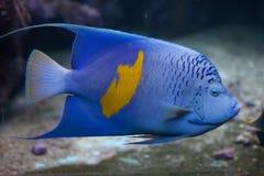 Yellowband angelfish (Pomacanthus maculosus). Yellowband angelfish (Pomacanthus maculosus), also known as the halfmoon angelfish. Wild life animal royalty free stock photos