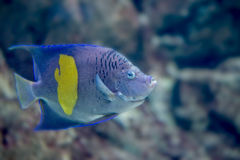Yellowband angelfish or Pomacanthus maculosus. Also known as the halfmoon angelfish. Wildlife animal stock photo