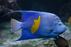 Yellowband angelfish Pomacanthus maculosus. Also known as the halfmoon angelfish royalty free stock photo