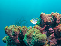 Yellowbanded Sweetlips在巴厘岛,印度尼西亚 库存图片