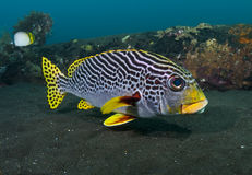 Yellowbanded sweetlips Royalty Free Stock Image