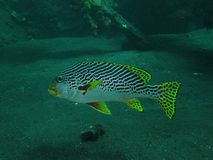 Yellowbanded sweetlips Στοκ Εικόνα