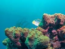 Yellowbanded Sweetlips i Bali, Indonesien Arkivbilder