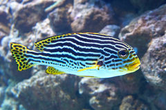 Yellowbanded Sweetlips (lineatus Plectorhinchus) Στοκ Φωτογραφίες