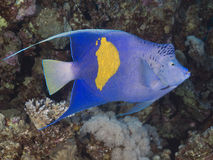 yellowbar的神仙鱼 免版税库存图片