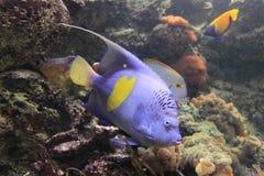 yellowbar的神仙鱼 库存图片