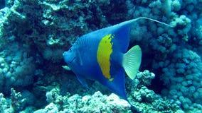 Yellowbar神仙鱼, Pomacanthus maculosus 免版税库存照片
