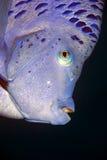 Yellowbar angelfish Stock Images