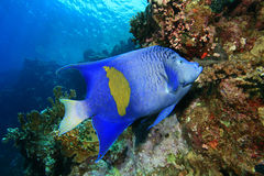 Yellowbar Angelfish Stock Photo