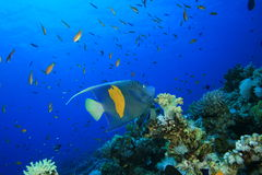 Yellowbar Angelfish. (Pomacathus maculosus) in the Red Sea stock photography