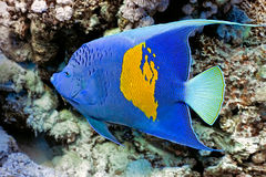 Yellowbar Angelfish Royalty Free Stock Photos