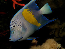 Yellowbar Angelfish Stock Images