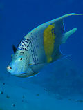 Yellowbar Angelfish Royalty Free Stock Images