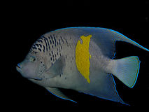 Yellowbar Angelfish. Pomacanthus maculosus. Taken at Ras Mohammed in Red Sea stock image