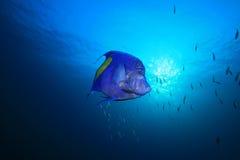 Yellowbar Angelfish. (Pomacanthus maculosus) in blue water stock photos