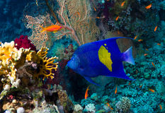 Yellowbar angelfish. (Pomacanthus maculosus) on a coral reef in the Red Sea, Egypt royalty free stock photography
