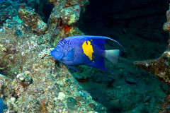 Yellowbar Angelfish Στοκ Εικόνα