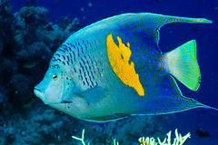 Yellowbar Angelfish royalty free stock photo