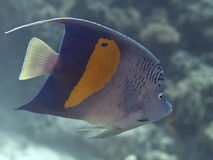 Yellowbar angelfish Στοκ φωτογραφίες με δικαίωμα ελεύθερης χρήσης