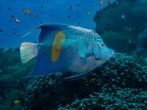 Yellowbar Angelfish Στοκ Φωτογραφίες