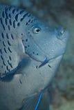 Yellowbar Angelfish Στοκ φωτογραφία με δικαίωμα ελεύθερης χρήσης